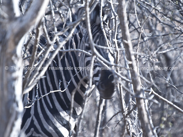 Camouflage, Zebra displays the power of camouflage in South African bush.