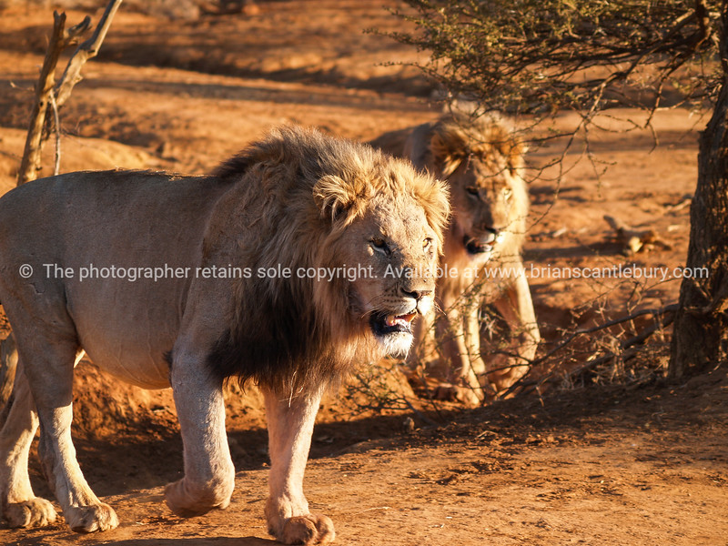 Two leisurely male lions walking together in heat of African day