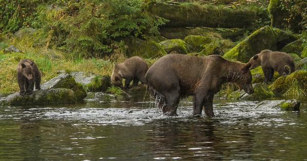 Alaska Brown and Black Bears 2012
