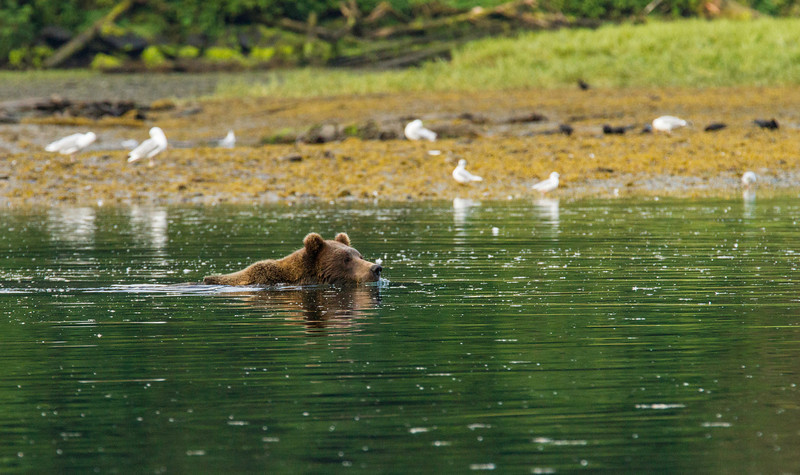 We entered Sumner Strait and cross over to the shore of Prince of Wales to anchor at Red Bluff Bay. We spot a swimming brown and in the morning take out the skiff and spot several other brown bears.
