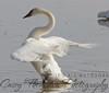 Trumpeter Swan - Movie Star