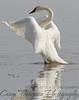 Trumpeter Swan - Flexing