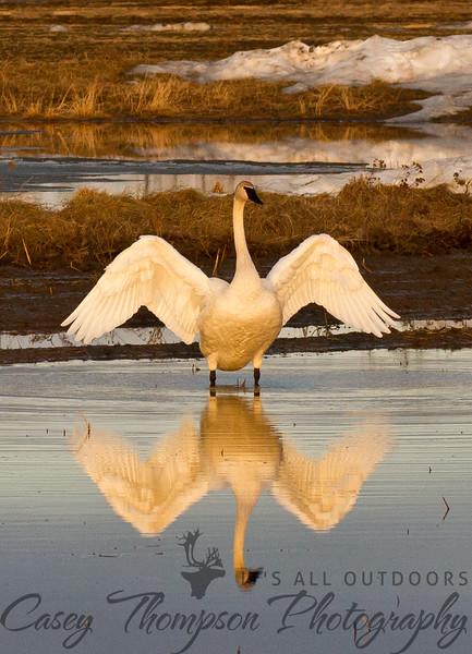 Trumpeter Swan - Evening Elegance