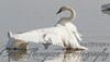 Trumpeter Swan - Condolences
