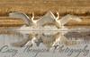 Trumpeter Swans - Splash Landing