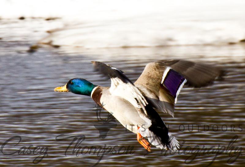 Mallard - Landing with Trepidation