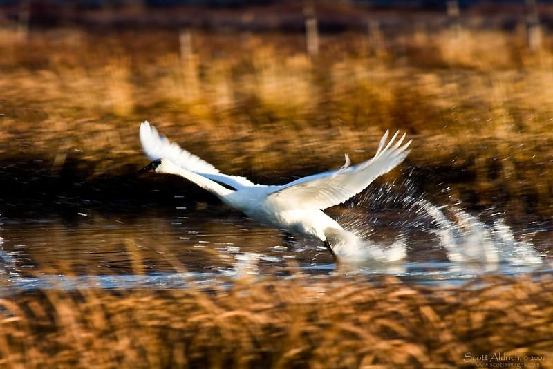 Swan ~ Potters Marsh, Alaska.