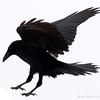 Raven landing, Alaska.