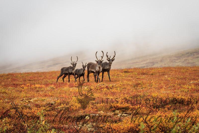 Caribou on Eagle Summit - August 26, 2012