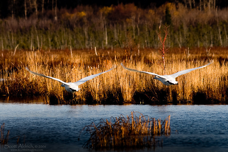 Swans ~ Potters Marsh, Alaska.