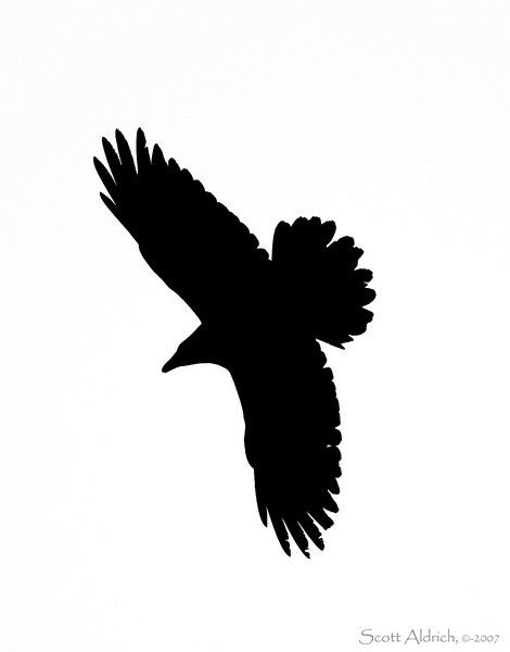 Raven soaring, Anchorage Alaska.