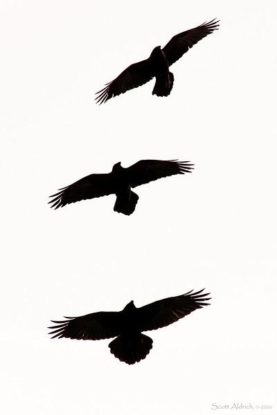 Raven's soaring, Alaska.