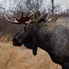 Moose, Alaska.
