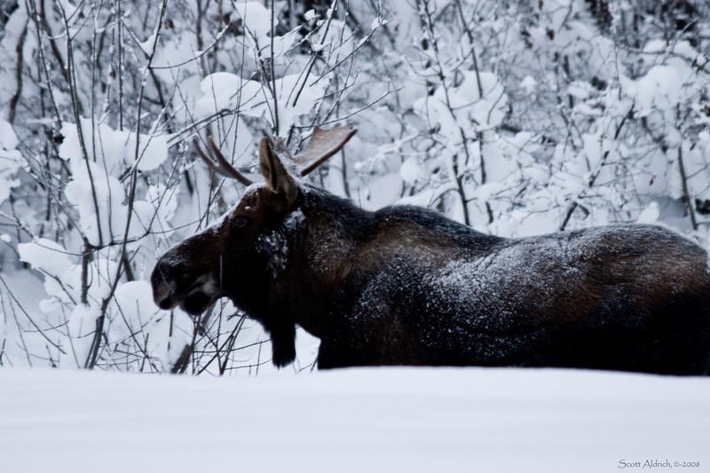 Moose in deep snow near Alyeska ski resort, Alaska.
