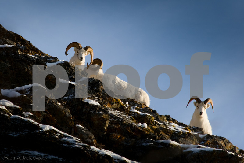 Dall Sheep Rams, Alaska.