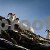 Dall Sheep Rams, Alaska.
