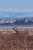 Donnelly Dome Caribou - April 5, 2013