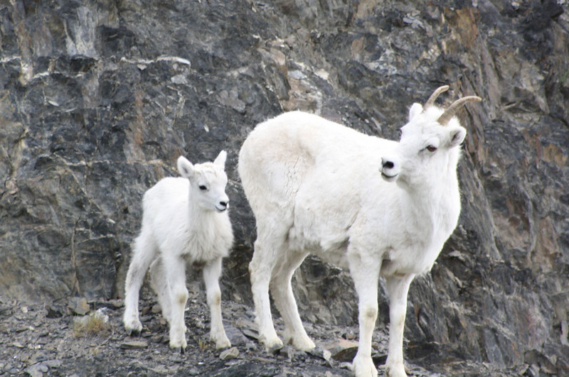 Wild Dall Sheep female and lamb