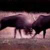 Bull Moose during rut, Anchorage Alaska