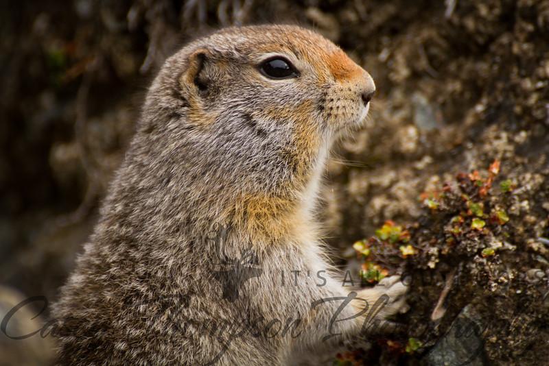 Arctic Ground Squirrel - Hoarding