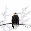 Bald Eagle, Knik River ~ it was 30 below zero on this day...