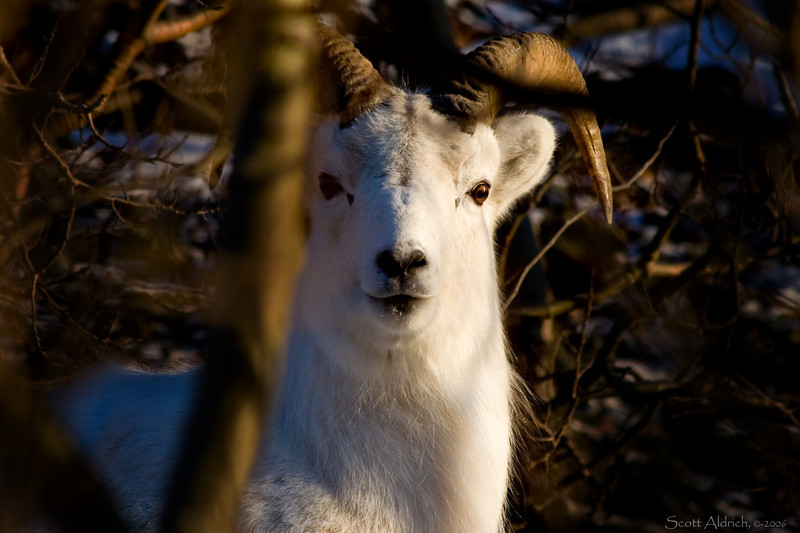 Dall Sheep in trees, Alaska.