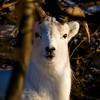 Dall Sheep in trees, Alaska.