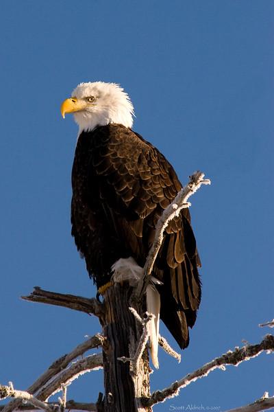 Eagle near Portage, Alaska - it was 15 below zero that day.