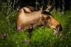 Alaskan Moose feeding on fireweed.