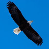 Bald Eagle over downtown Anchorage.