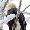Bald Eagle, Knik River Alaska