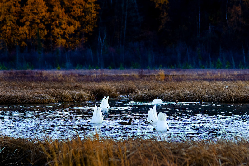 Swans and duck, Alaska.