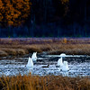 Swans and duck, Alaska.