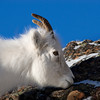 Dall Sheep, Alaska.