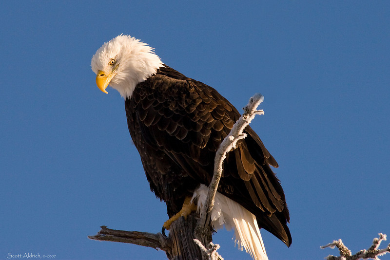 Eagle near Portage, Alaska - it was 15 below zero that day