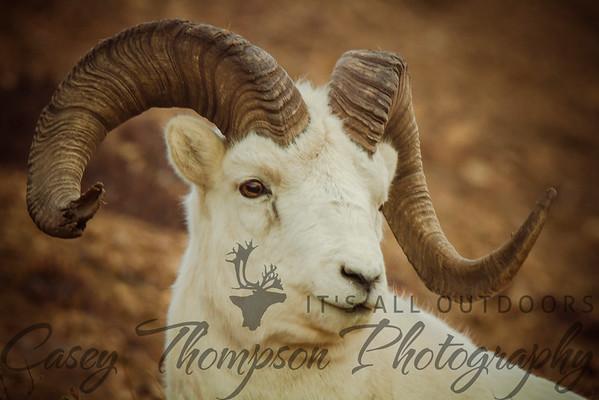 Dall Sheep Portrait