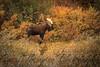 Bull Moose in the fall foliage in Denali National Park - September 15, 2012