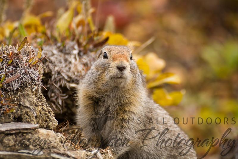 Arctic Ground Squirrel - Look At Me!