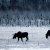 Moose on a dark morning, Potters Marsh, Alaska