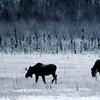 Moose on a dark morning, Potters Marsh, Alaska