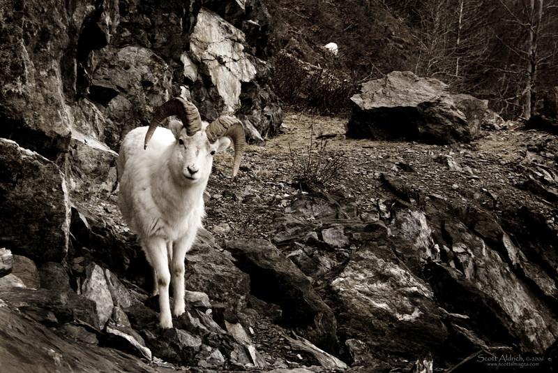 Dall Sheep, Alaska.