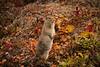Arctic Ground Squirrel - Standing Around