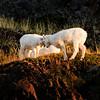 Dall Sheep butting heads. Alaska.