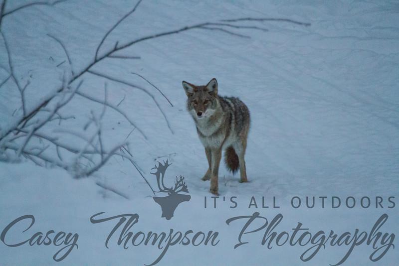 Alaskan Coyote - January 10, 2013