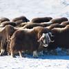 Wild Muskox Herd in Nome, Alaska