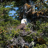 Wild Bald Eagle.  Whittier, Alaska.
