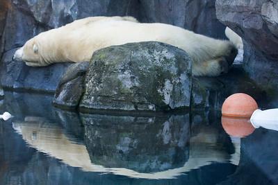 laaaaaaazy Polar Bears