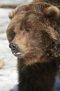 Oreo, female Brown Bear....NOT willing to share her snack!