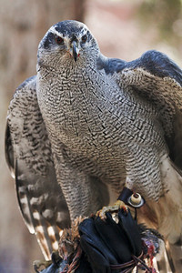Orion the Goshawk....dinner is served!