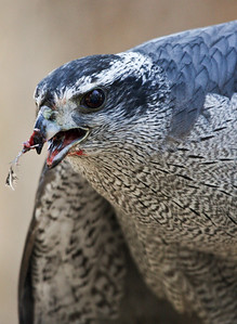 Orion, female Goshawk